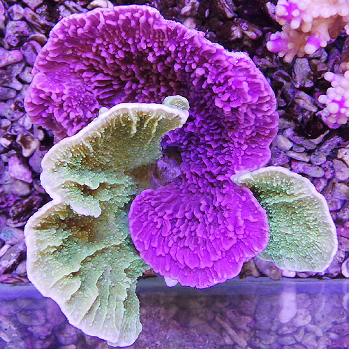 Montipora foliosa Double