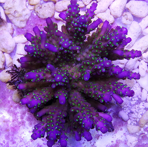 Acropora Tri-colour