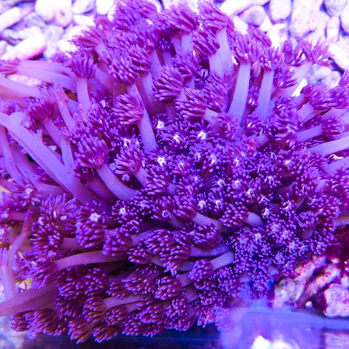 Goniopora purple