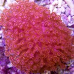 Goniopora red 2